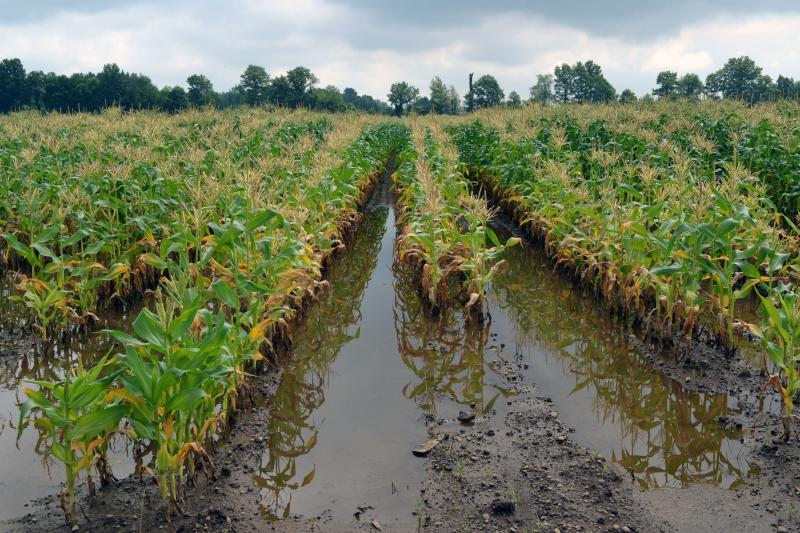 Low-lying sections of sweet corn on Brian Reeves' farm in Baldwinsville are too wet too grow well.