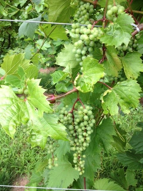 Grapes growing in western New York.