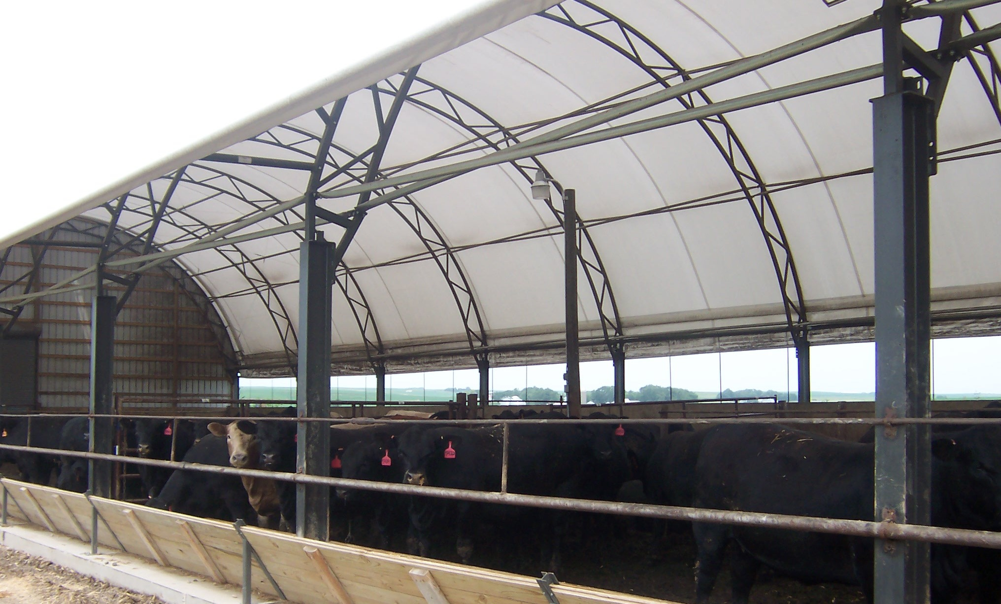 Cattle Show Barns http://news.iowapublicradio.org/post/hoop-barns-protect-cattle-heat