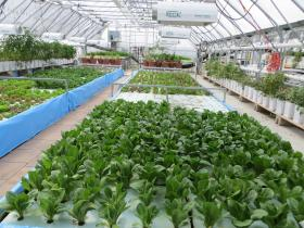 Lettuce is just one of the products being grown in the six thousand square foot greenhouse at All Seasons Harvest near Cedar Falls