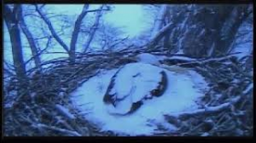 Mother eagle sits on her three eggs following a ten inch snowfall
