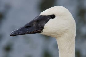 One way to discern the trumpeter swan from its cousins the tundra swan and mute swan—an invasive species—is the trumpeter's large body and longer, black beak.