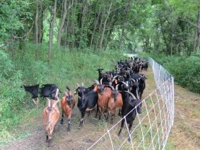 This herd of goats is helping clear vegetation at Ensign Hollow