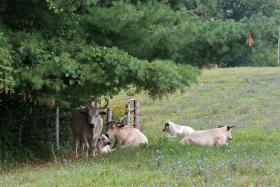 In addition produce, Seed Savers also maintains a herd of White Park cattle. This breed originates from the British Isles dating back 2,000 years.