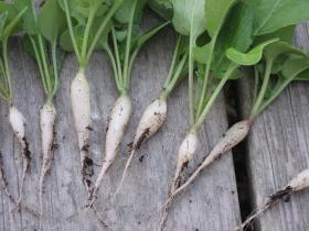 White icicle radishes grown at Seed Savers Heritage Farm.