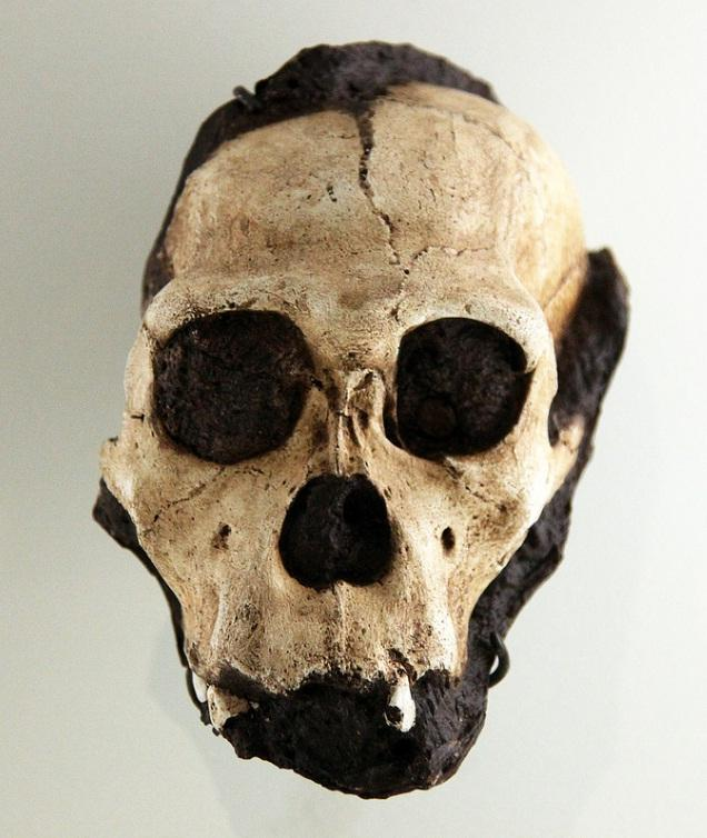 Australopithecus sediba juvenile male skull - Smithsonian Museum of Natural History