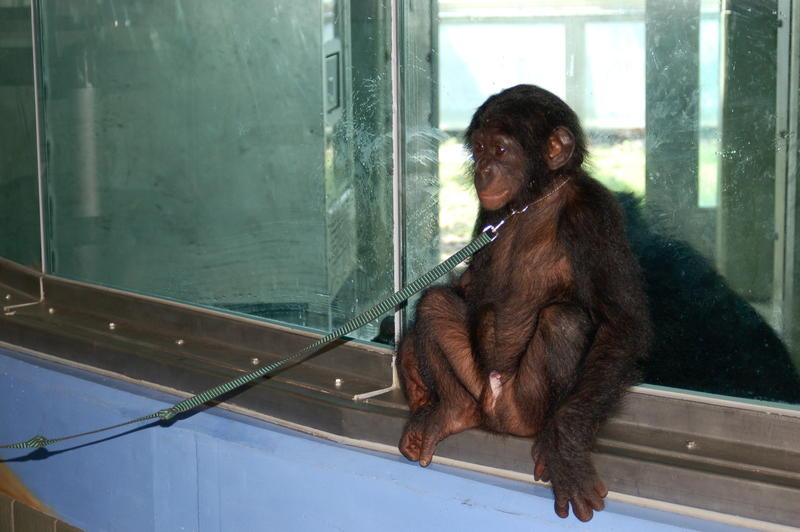 Teco waits by his father, Kanzi's, enclosure