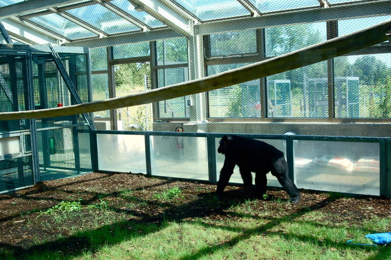 The bonobo's greenhouse play-area