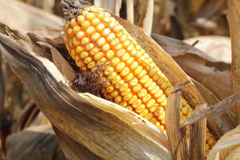 An ear of Syngenta's Agrisure Artesian drought-resistant corn just before harvest.