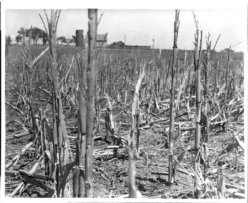 A corn field withered and broken by drought and wind in Shawnee County, Kan., 1936