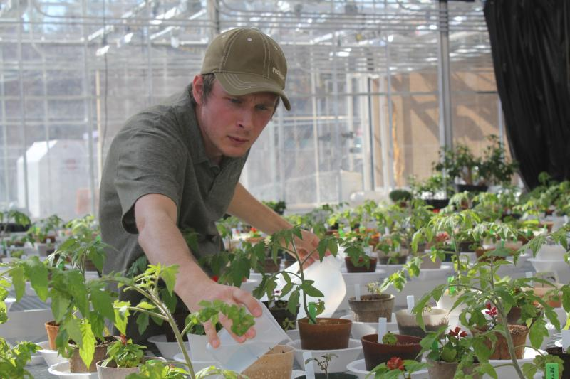 Iowa State University researcher Kenny McCabe tends to tomatoes and salvia growing in bio-renewable pots in a greenhouse in Ames.