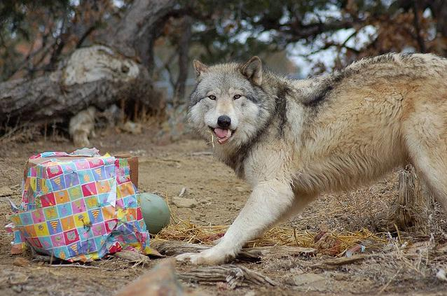 The Wild Spirit Wolf Sanctuary gives Christmas presents to their wolves.