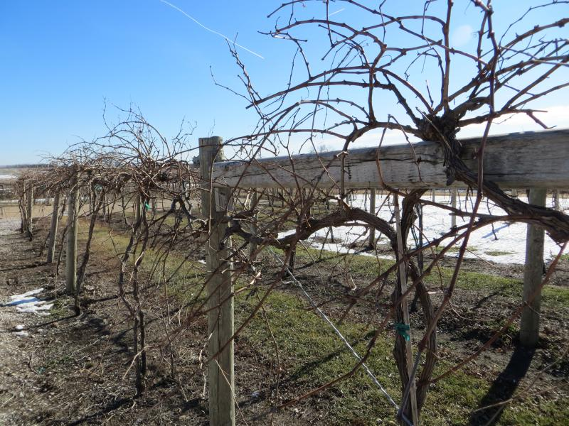 The 2012 grape harvest is over, but Iowa growers say the drought protected the crop from pests and disease that can alter flavor.