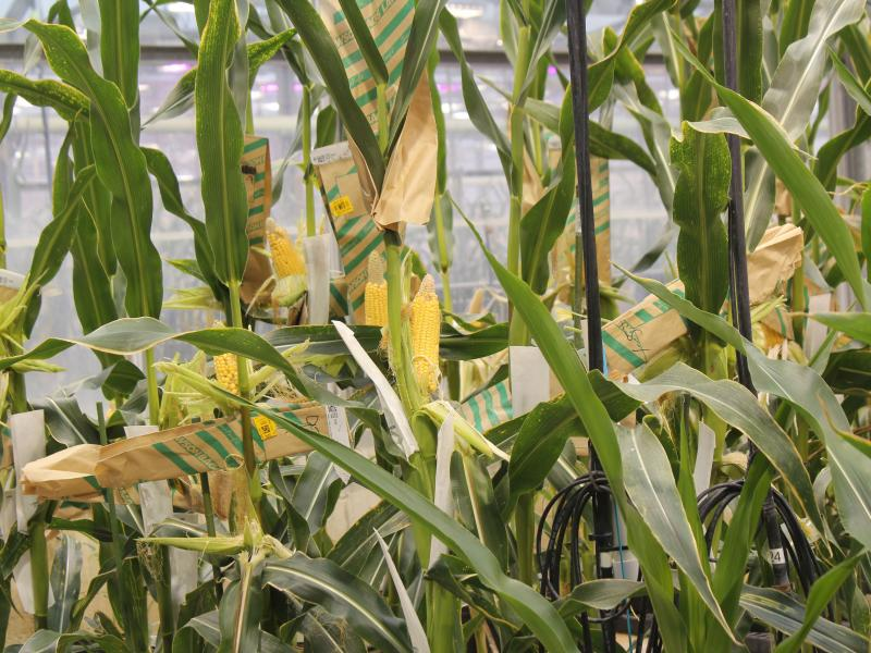 Corn plants grow in a roof-top greenhouse at Monsanto's Chesterfield Village Research Facility.