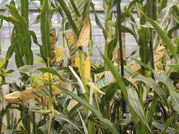 Corn plants grow in a roof-top greenhouse at Monsanto's Chesterfield Village Research Facility
