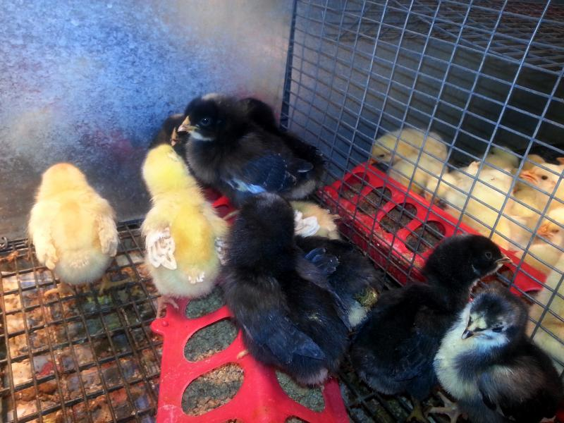 Mixed breed chicks for sale at an Iowa City Orscheln Farm and Home
