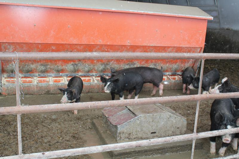 These Berkshire pigs move between their feeding and water troughs, at the open end of their hoop house on Randy Hilleman's farm in State Center, Iowa.