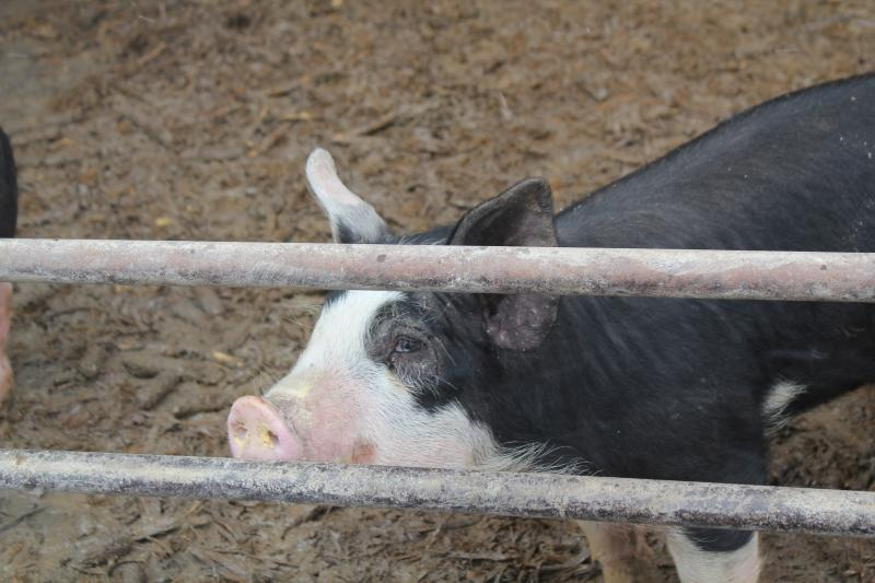 A Berkshire pig at the gate that's at the open end of a hoop house on Randy Hilleman's farm in State Center, Iowa.