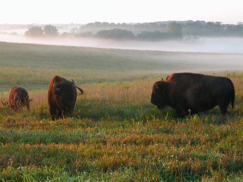 Bison bison bison iowa public radio for Fish and wildlife