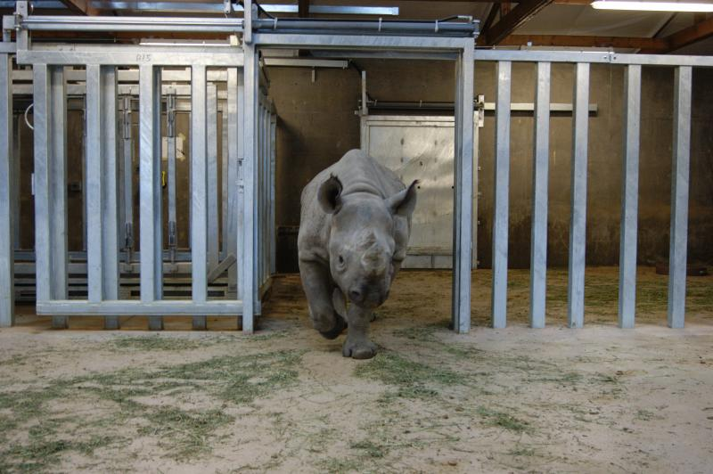 Two-and-a-half-year-old Ayana, one the Blank Park Zoo's two eastern black rhinoceros.