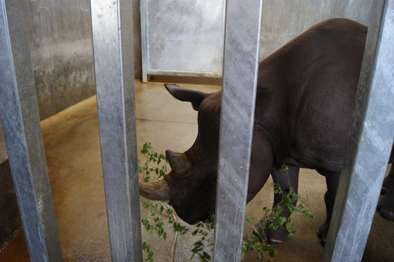 Rhino Kiano enjoys a treat.  An adult eastern black rhinoceros can weigh more than 3,000 lbs.