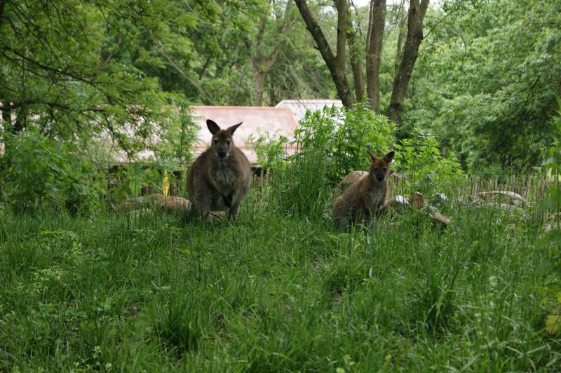 """Two Blank Park Zoo wallabies; a group of wallabies is known as a """"mob."""""""