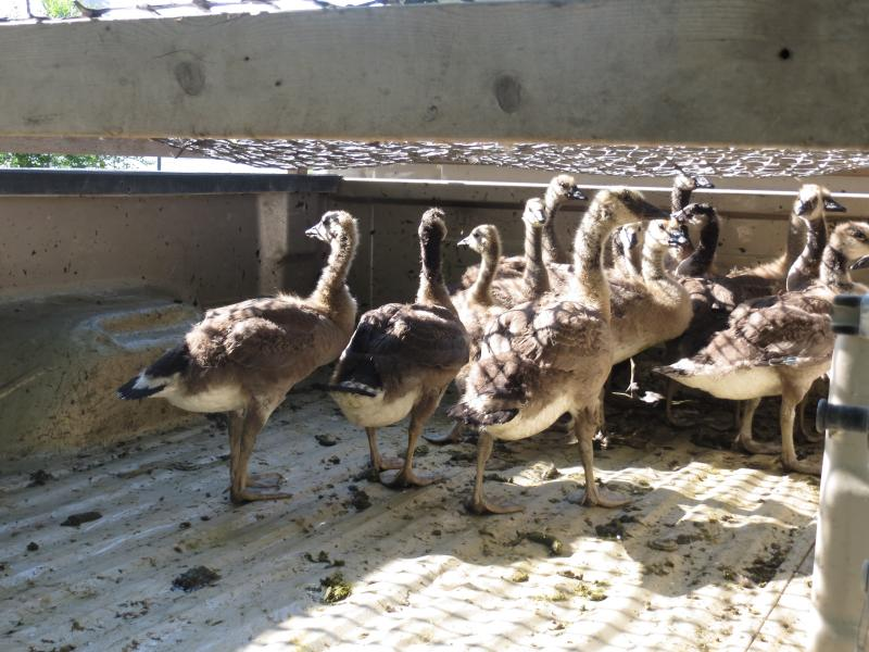 Goslings are loaded on a truck before being taken to the Coralville Reservoir, during the city's annual goose round-up.