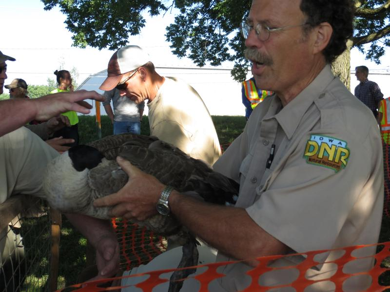 Tim Thompson of the Iowa Department of Natural Resources helps load Canada geese onto a truck during an annual round-up.