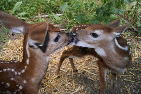 Two fawns that were rehabilitated last year by Host Charity Nebbe's mother Linda Nebbe of Cedar Falls. The fawns are from different mothers and are meeting for the first time.