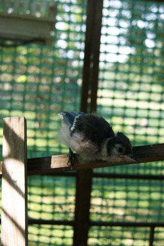 Blue jay chick at the Cedar Falls farm of licensed wildlife rehabilitator Linda Nebbe.