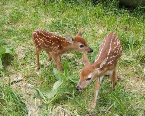 Two fawns that were raised by licensed wildlife rehabilitator Linda Nebbe of Cedar Falls.