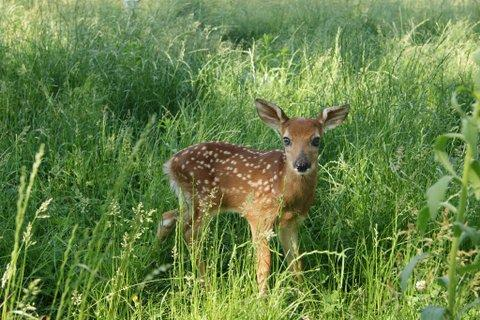 Fawn at the Cedar Falls farm of licensed wildlife rehabilitator Linda Nebbe.