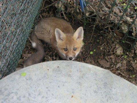 A kit fox at the Cedar Falls farm of licensed wildlife rehabilitator Linda Nebbe.