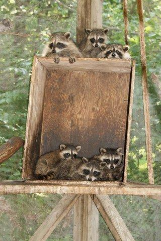 Litter of baby racoons at the Cedar Falls farm of licensed wildlife rehabilitator Linda Nebbe.