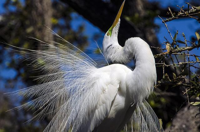 Great white egret showing its plummage