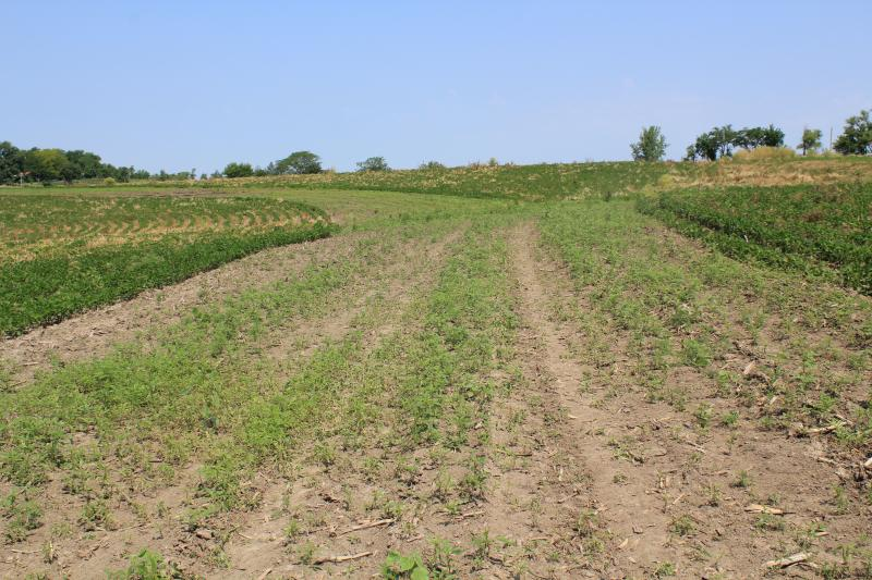What today is just a patch of weeds next to rows of soybeans, Watkins is confident will establish as prairie within three years. And that will help prevent nutrient runoff and soil erosion.