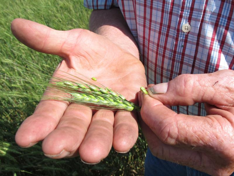 Nebraska farmer Larry Flohr, squeezes out a kernel of unripened wheat.