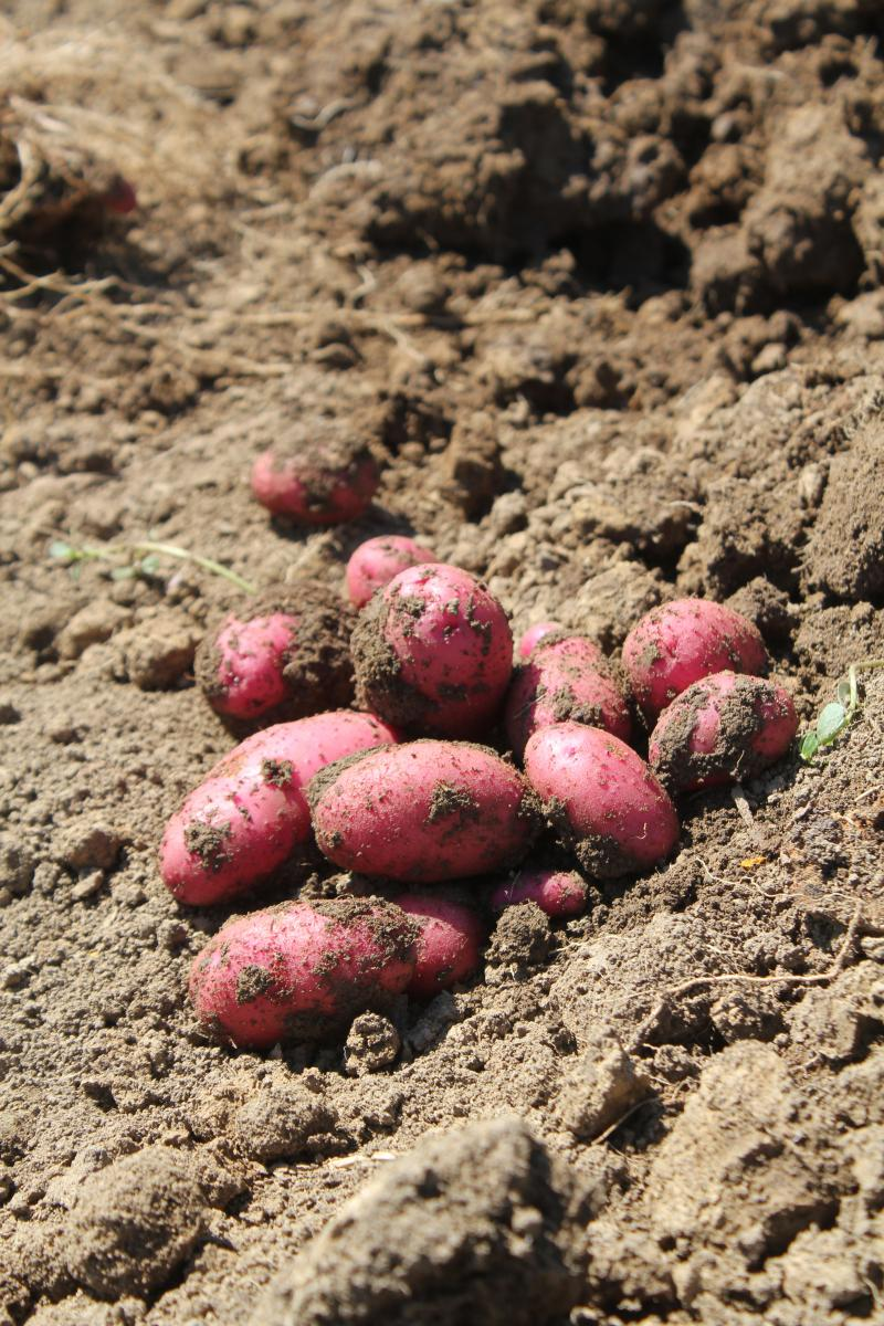 These One Farm potatoes went to a local farmers market, where Danelle Myer says demand has exceeded her expectations.