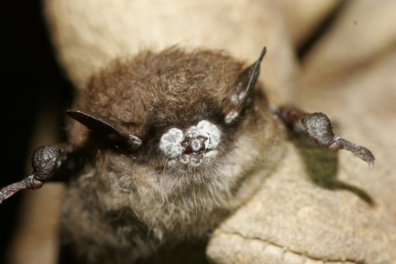 White Nose Syndrome is named for the white fungus—Geomyces destructans—that is found on muzzles and wings of affected bats such as the little brown bat pictured above. Geomyces destructans thrives in cold, humid environments like caves.