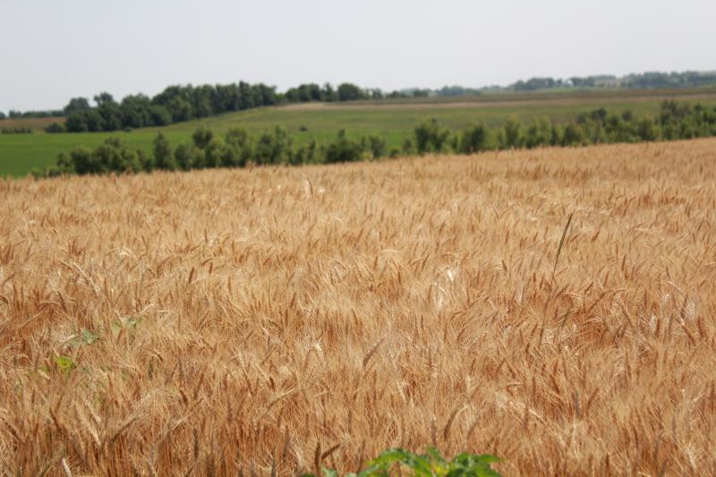 Farmers will soon begin harvesting crops, and making decisions about next year, without a farm bill.
