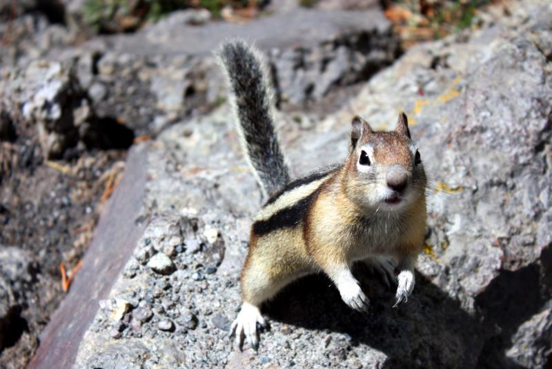 In Autumn chipmunks stockpile food for winter. As a result human neighbors might become irritated by chipmunk-created holes in their yards or houses.