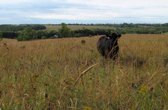 "The Christen family grazes cattle year-round on native prairie pastures in southeast, Neb. Rod Christen calls big bluestem their ""Cadillac grass."""
