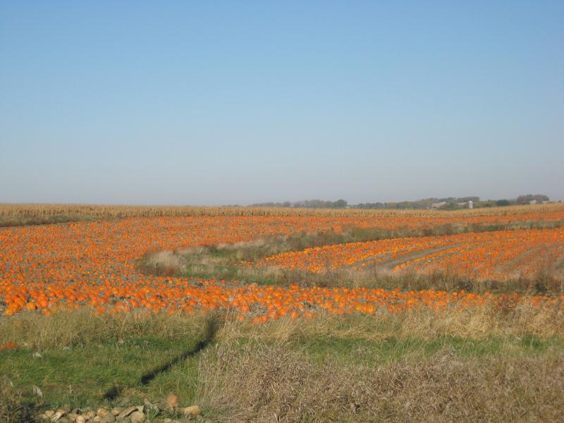 This field of pumpkins grew on Bill Dix's farm near Shell Rock, Iowa this fall. But Illinois claims the title of pumpkin capital.