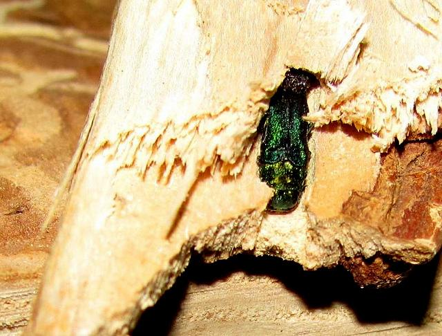 The Emerald Ash Borer threatens millions of ash trees in Iowa.