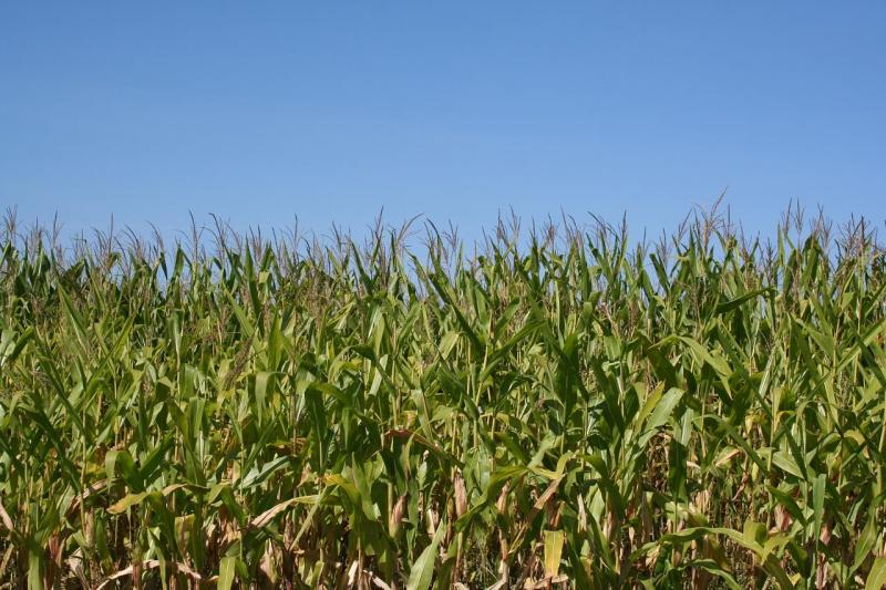 Nearly all gasoline sold in the U.S. contains up to 10 percent of ethanol—a corn-based liquid often added to gasoline.