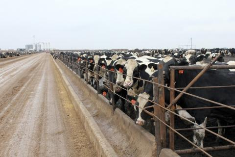 "Some 6,500 Holsteins are ""finished"" at this 2,000-acre Ordway, Colo., feedlot, where the growth promotion drug Zilmax is no longer used because it was pulled from the market by its manufacturer."