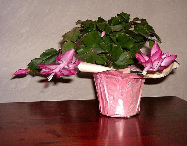 Christmas Cactus is an easy to care for holiday plant that can live for decades