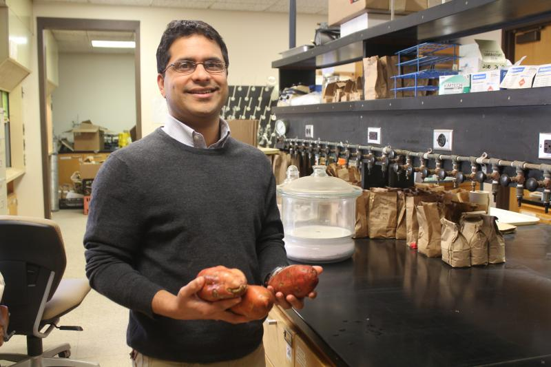 ISU horticulture professor Ajay Nair grew sweet potatoes on a university farm to gauge their viability in the Midwest.