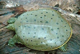 A captive Spiny Softshell turtle