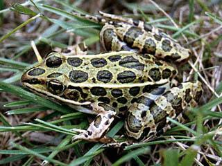 A Northern Leopard Frog from Muscatine County, Iowa